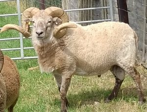 Stock For Sale & Wanted :: The Soay and Boreray Sheep Society